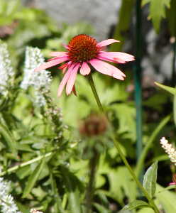 Sundown_coneflower